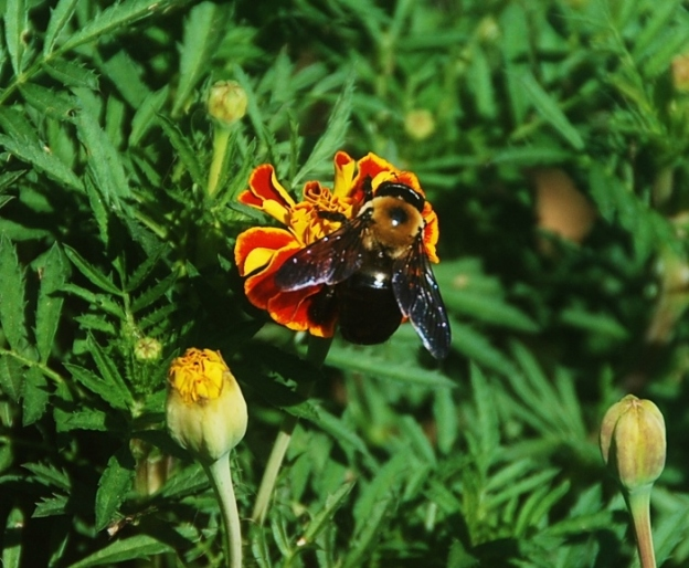 A huge marigold-sized bumblebee