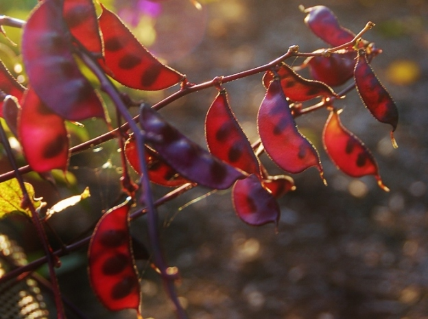 ...inside the garden; these magenta beans were very striking.