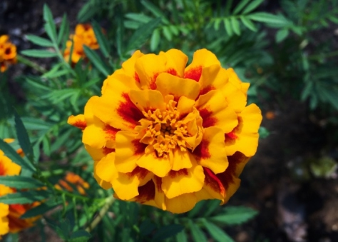 We have about 5 varieties of marigolds...