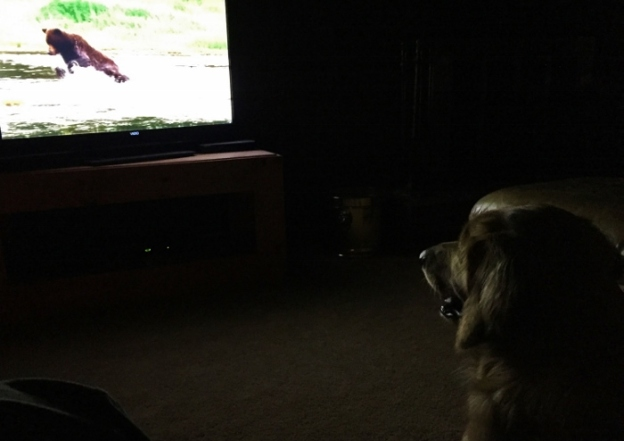 Dexie watching a documentary on bears.