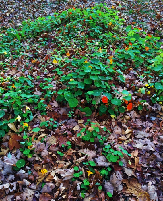 Nasturtiums nearly buried in leaves