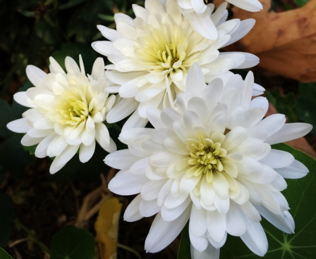 White mums