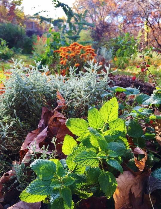 Humble (but fragrant!) lemon balm in the foregrouns and a thousand colors of fall in the background!