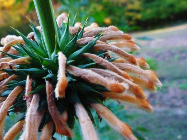 Lion's Tail (also known as Wild Dagga) grown in Spy Garden in 2012; a perfect plant for October!