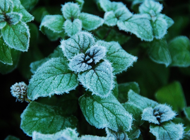 Frosty Citrus Mint