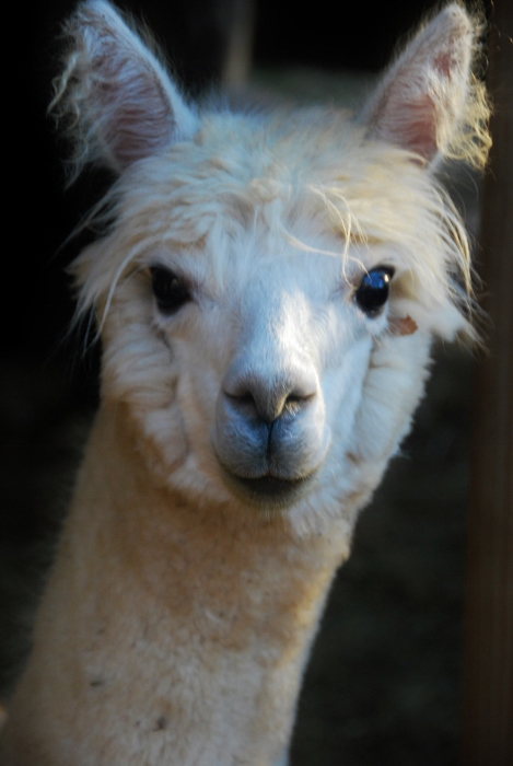Teeny-bop Alpaca