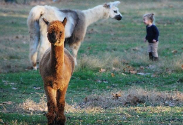 Alpaca, Llama, Baby