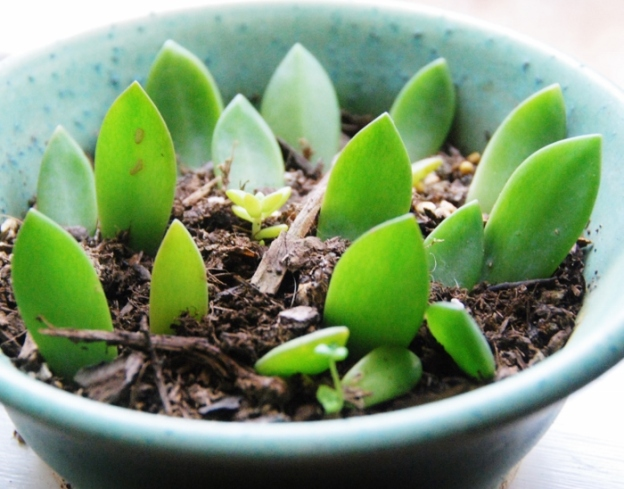 Each of these succulent leaves will grow a whole new plant