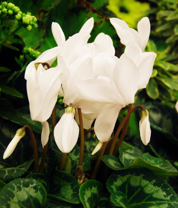 These were my favorites of the holiday flowers on display (Cyclamen; Rainier White)