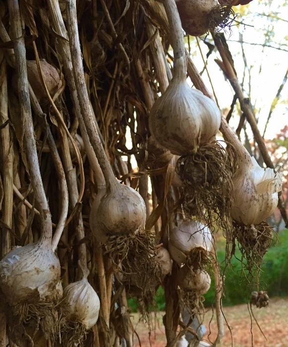 Spy Garden Garlic
