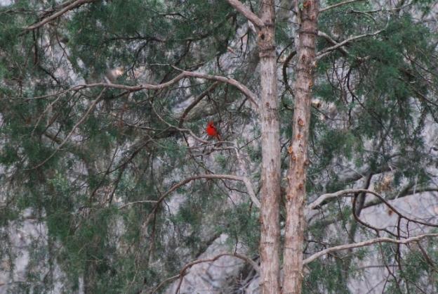 Cardinal in Cedar Trees