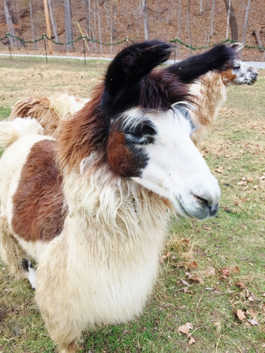 This llama is very equine-esque.