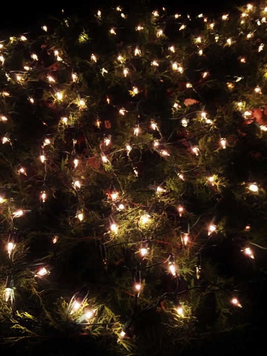Twinkling net lights on juniper bushes