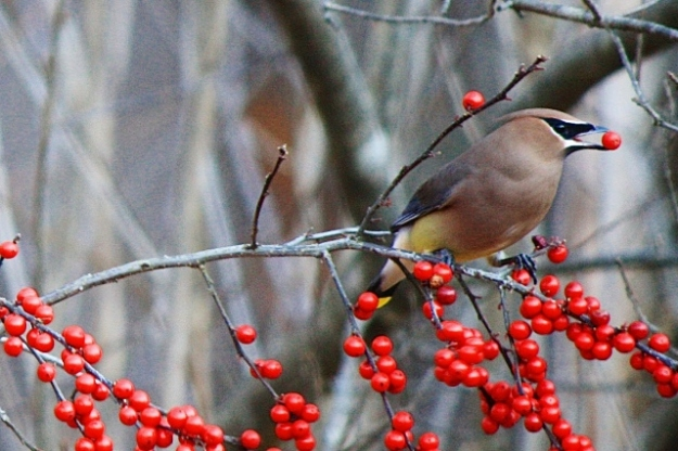 Photo of a Cedar Waxwing by Eliza Waters  (source of image)