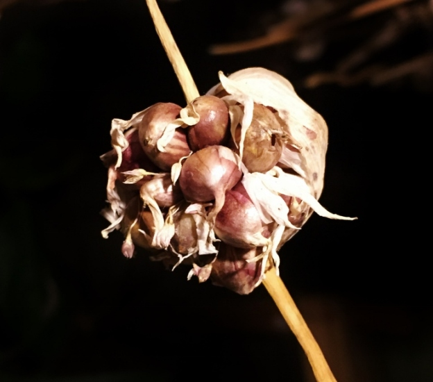 Garlic Seeds