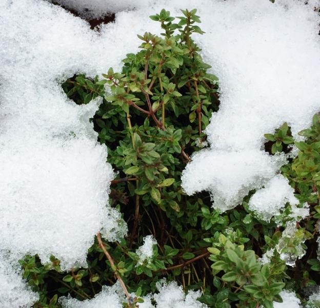 It's winter thyme!