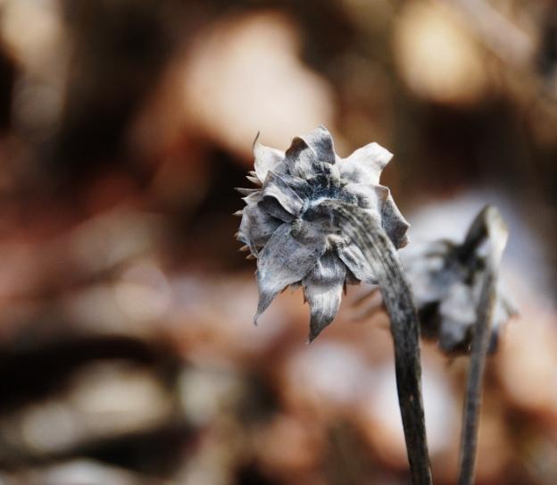 Silvery Tree Marigolds