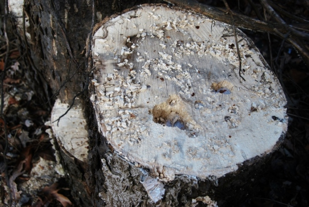 The work of woodpeckers