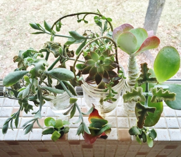 Succulents (cuttings from my dad's plants in Florida)