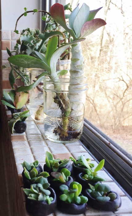 Succulents on the kitchen window sill