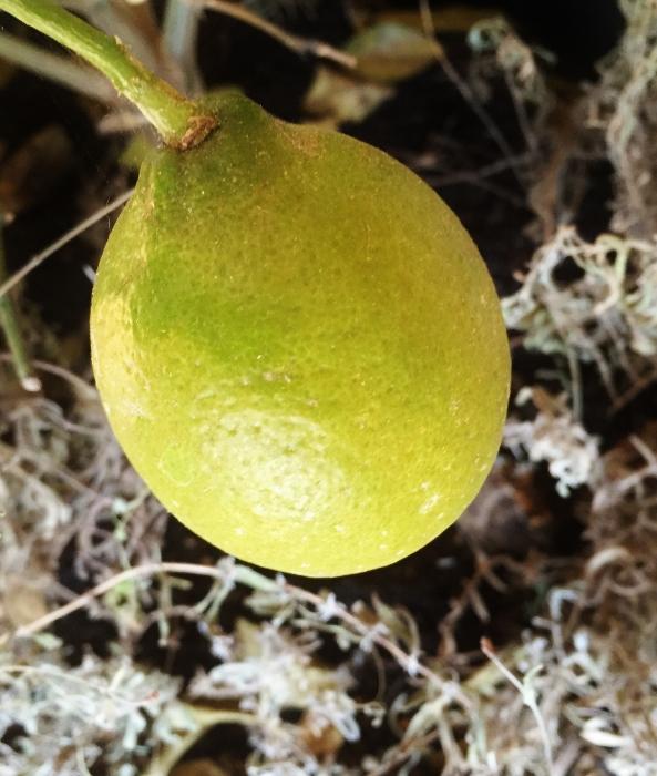 Meyer Lemon just starting to turn yellow (indoors)