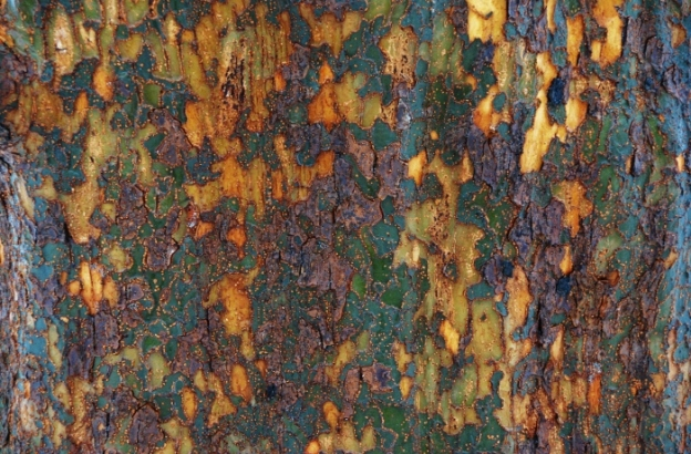 Beautiful bark; a Chinese elm