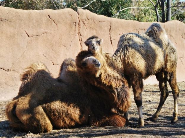 Camel Hug