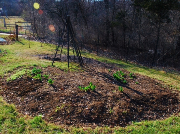 I think I will be growing pumpkins in this patch in a few months. For now it has: tulips, onions, love-in-a-mist flowers, red romaine and Monstreux de Viroflay spinach