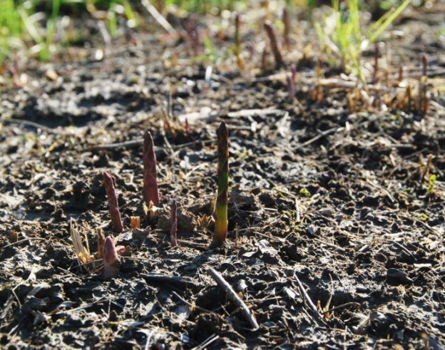 Asparagus harvest coming soon!