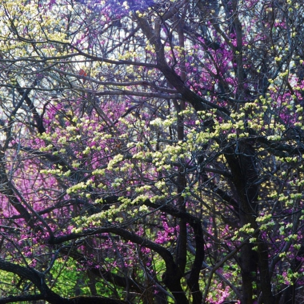 Beautiful redbuds and dogwood