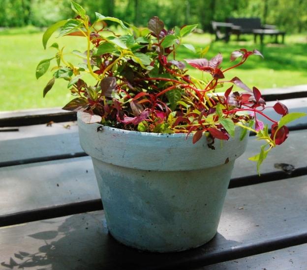 Celosia seedlings; so colorful!