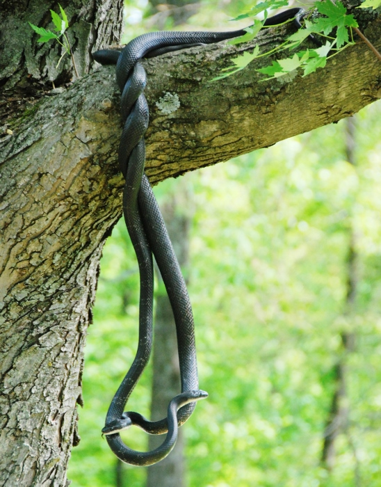 Hanging snakes