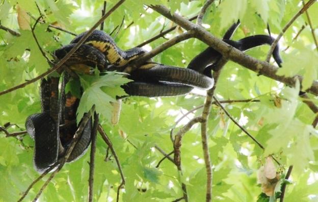 Snakes in love
