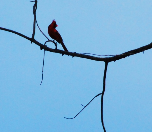 Cardinal on a little arch-shaped branch. So St. Louis!