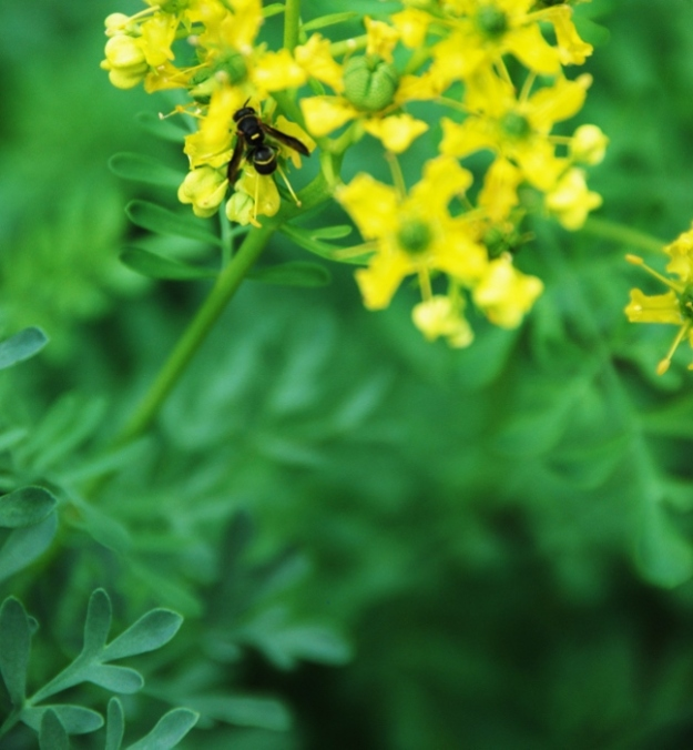 "The yellow wasp matches the ""Herb of Grace"" (Rue)"