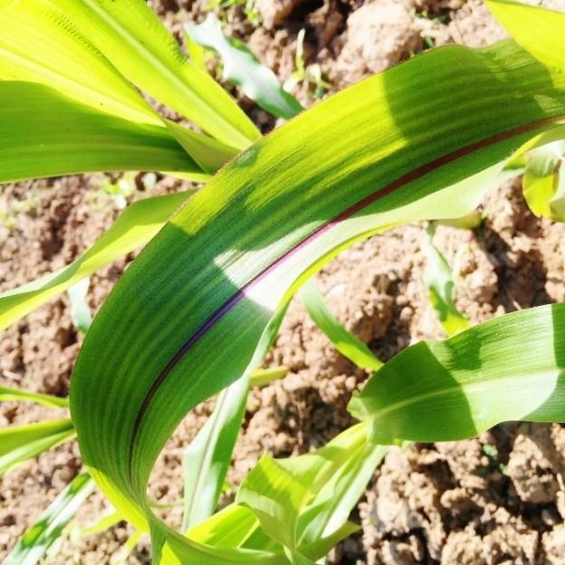 Kulli Black Incan Corn