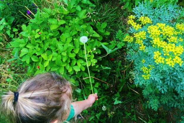 Picking a dandelion (from left are purple asters, wild strawberries and rue)