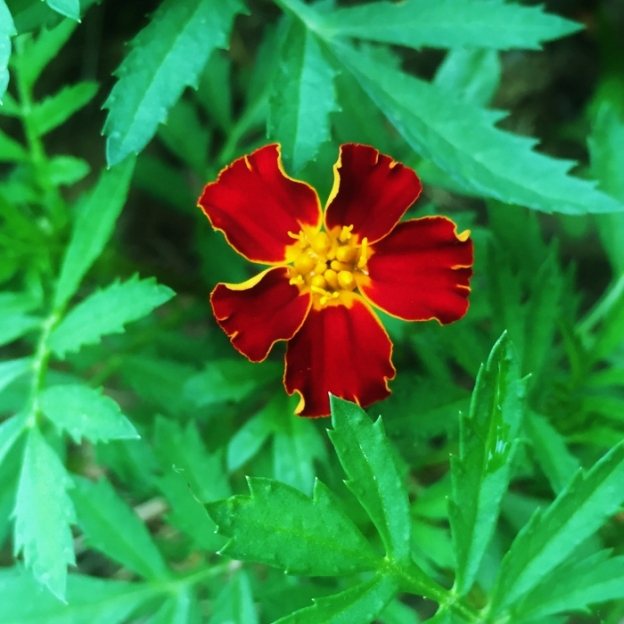 Marigold (there are many varieties in the garden)