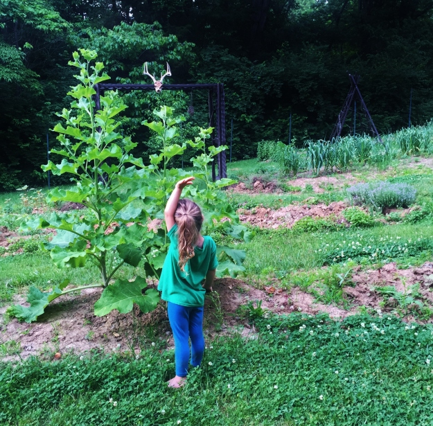 Showing how tall the great burdock is! The roots are edible and are popular in Asian cuisine. And you can also see the need for edging the borders in this photo!