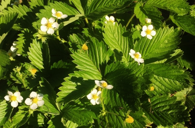 Yellow Wonder strawberry plants