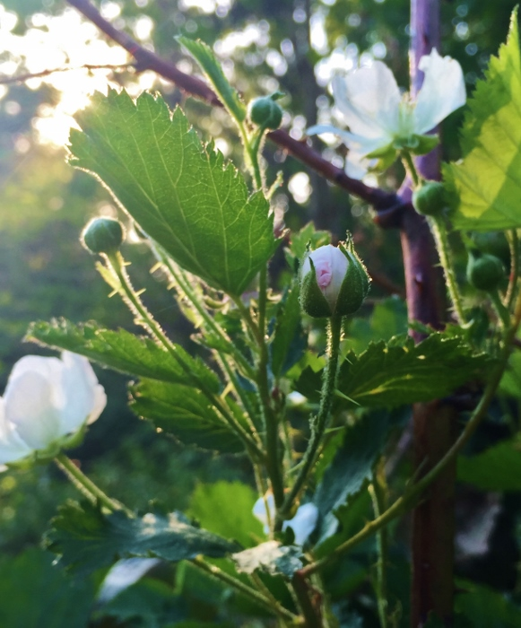 Blackberry Blossoms