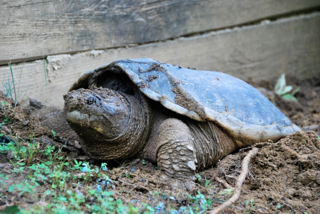 Snapping turtle laying eggs next to Lake Susan