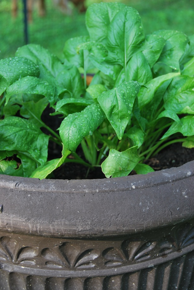 Yum! Spinach always seems to do so well in pots; very easy to harvest