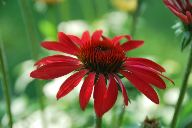 Very vibrant coneflower
