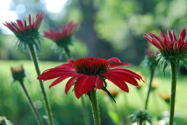 These are storebought (planted last year) but there are many native varieties of coneflowers in the parks in our area.