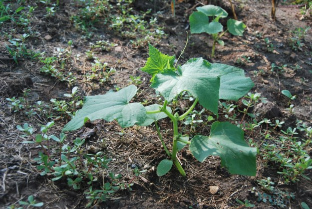 We are growing two types of cucumber: Sikkam (a tan oblong variety) and Dragon's egg (a white egg shaped type)
