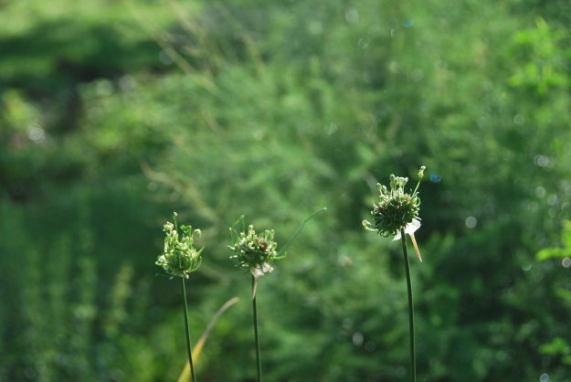 Little onion seed heads