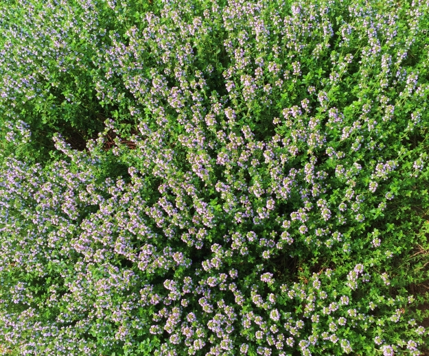 Thyme at this angle reminds me of one of those Magic Eye pictures