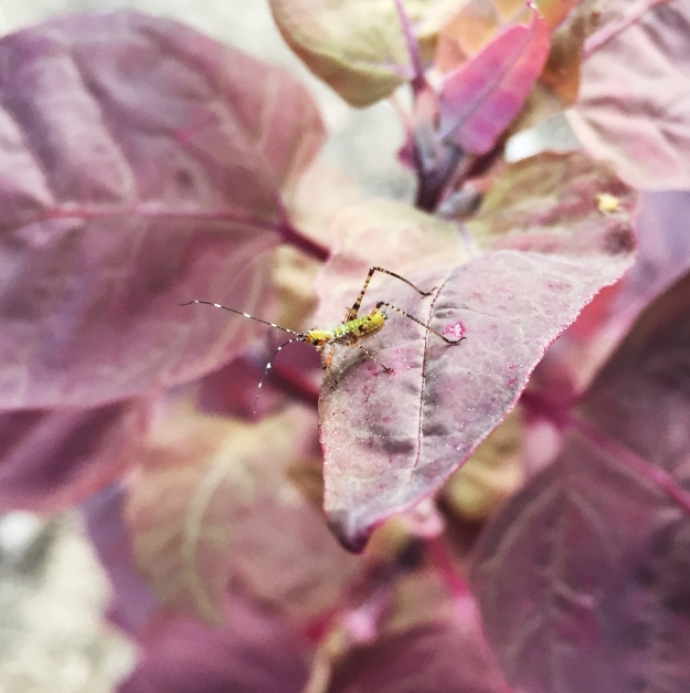 Little bug with black and white striped antennae on orach