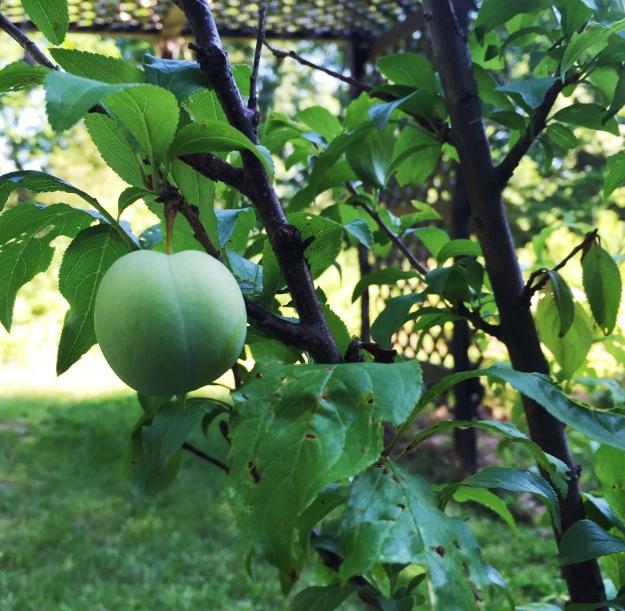 A plum!